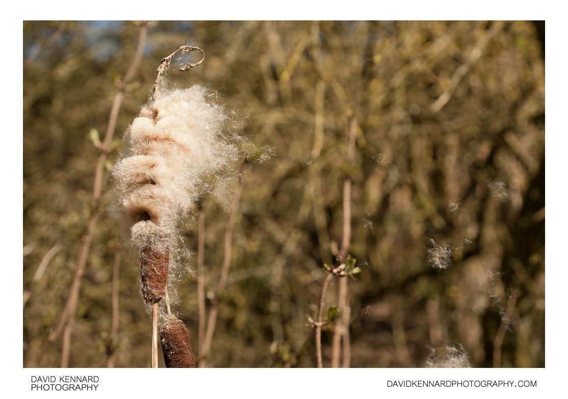 Common Bulrush (Typha latifolia) seed head