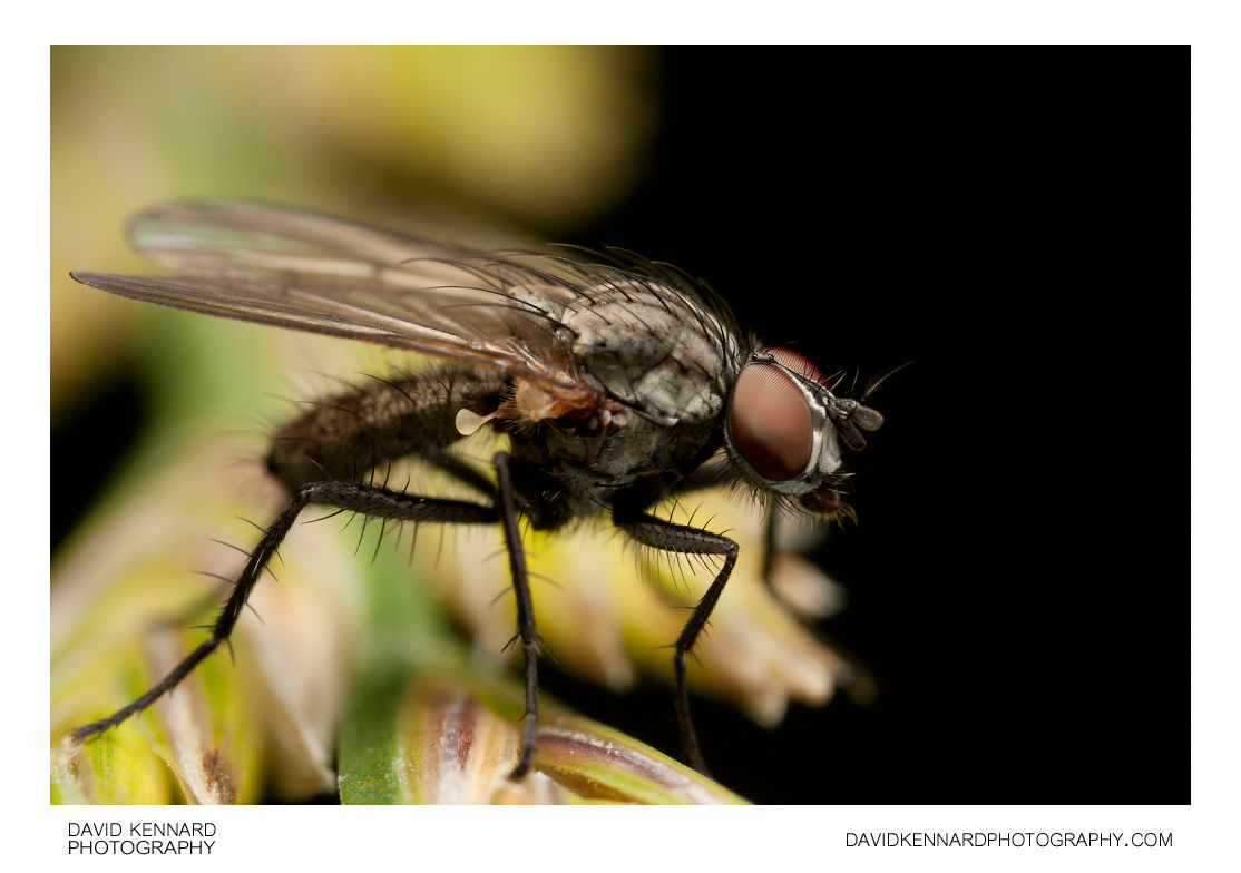 Anthomyia liturata fly