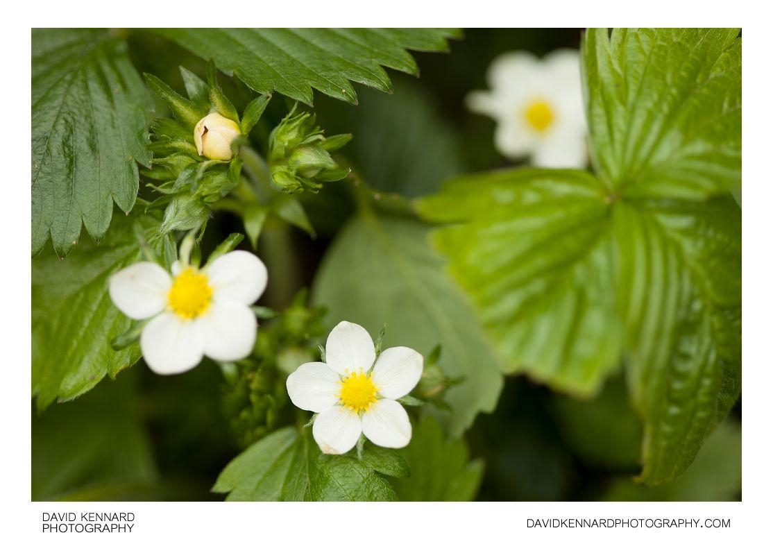 Wild Strawberry plant in flower (Fragaria vesca)