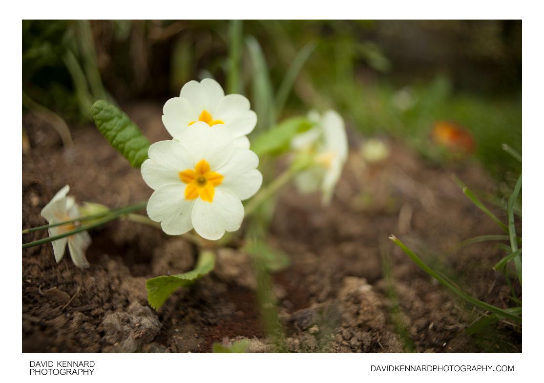 Flowering Primrose (Primula vulgaris)