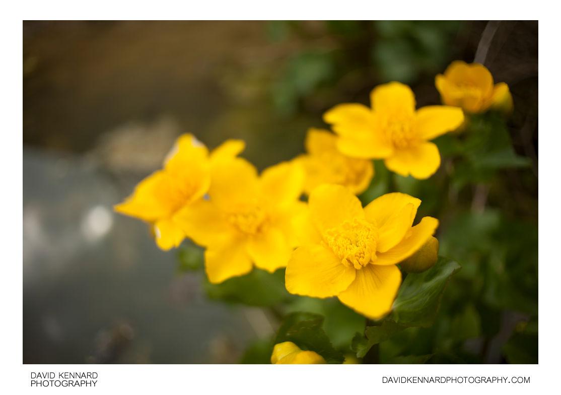 Kingcup (Caltha palustris) in flower