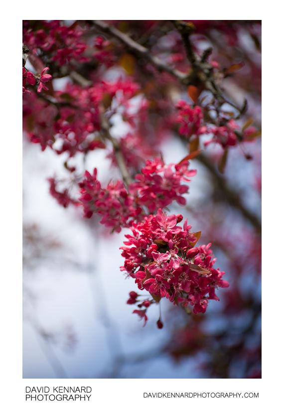 Malus 'Cardinal' crabapple flowers