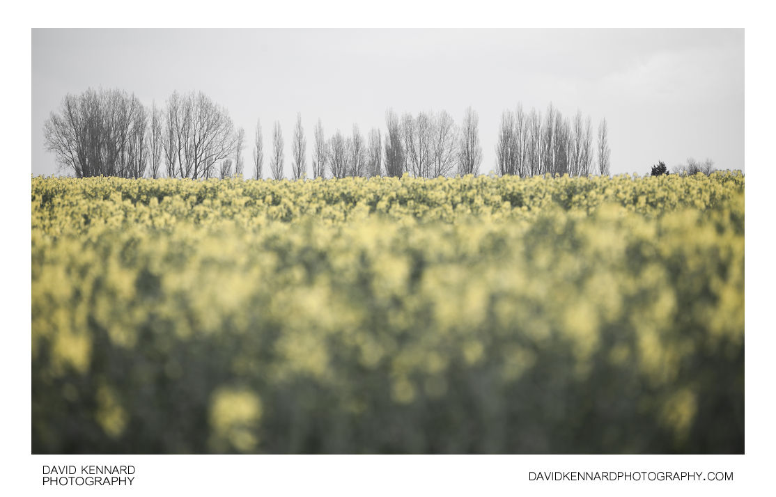 Trees at edge of oilseed rape field
