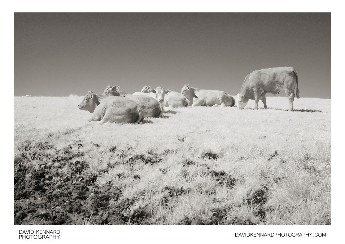 Cattle in field in Infrared
