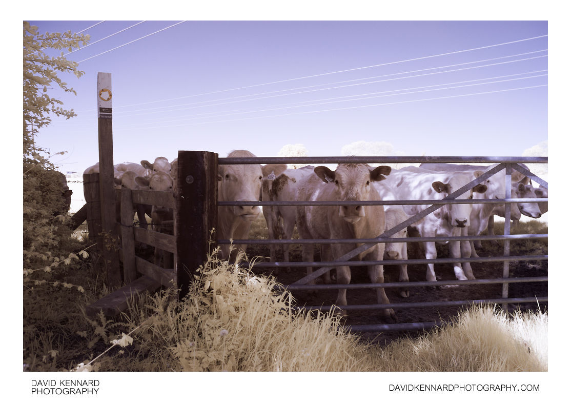 Cattle blocking stile in IR