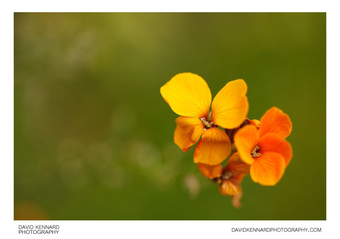 Erysimum cheiri (Aegean wallflower) flowers