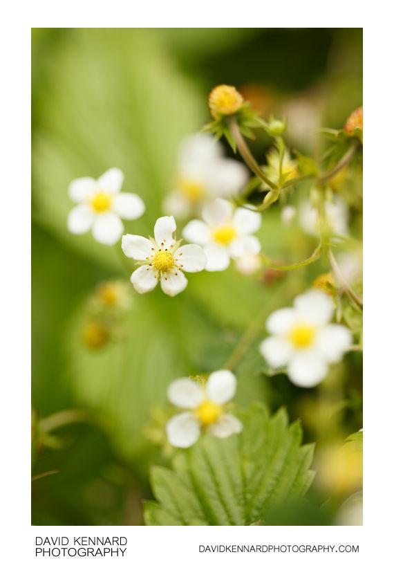 Flowering Wild Strawberry (Fragaria vesca)