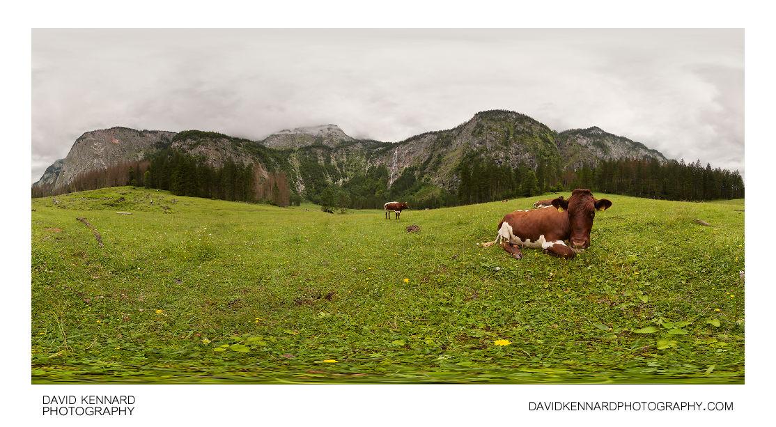 Cows in meadow near Röthbachfall, Königsee