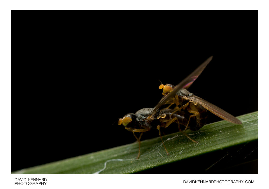 Anthomyza sp. flies (A. gracilis?) mating