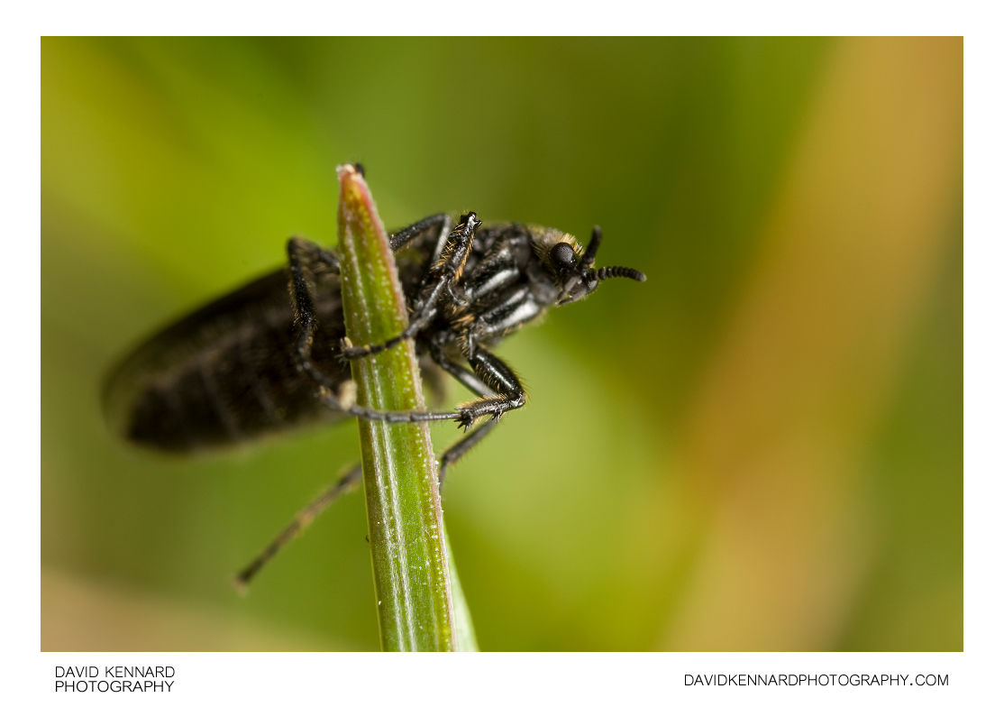 Female March fly (Bibionidae sp, Dilophus febrilis?)