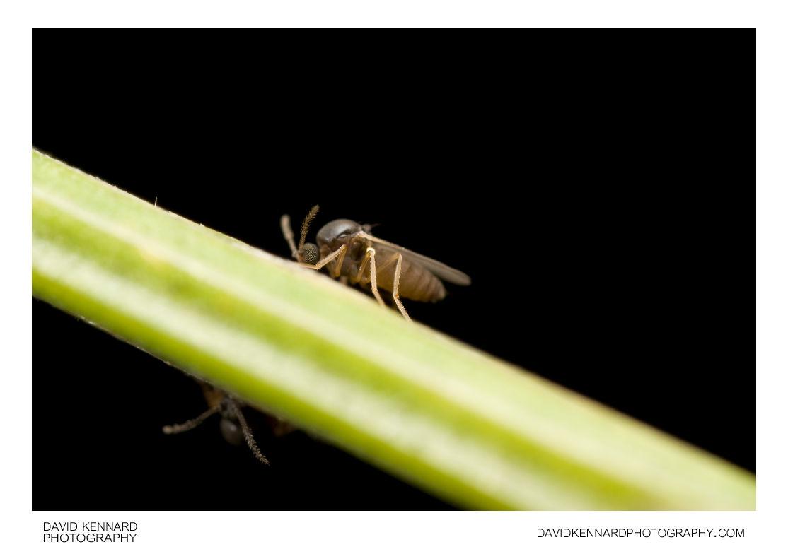 Biting midge (Ceratopogonidae sp.)