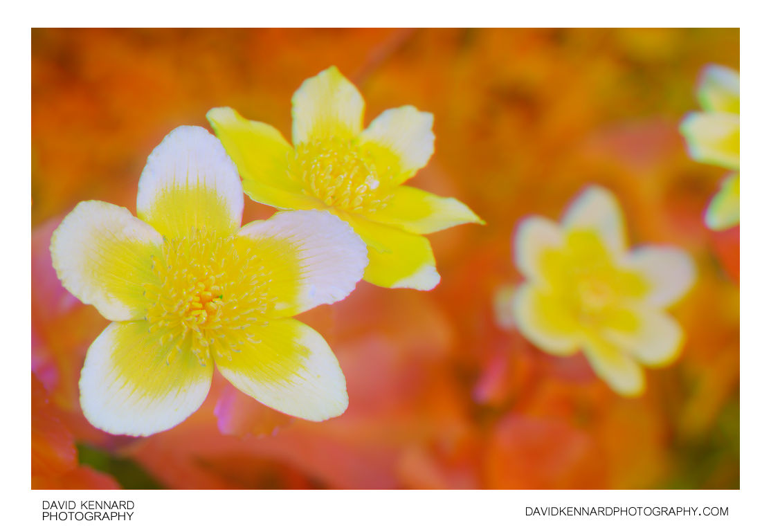 Marsh Marigold (Caltha palustris) Multispectral