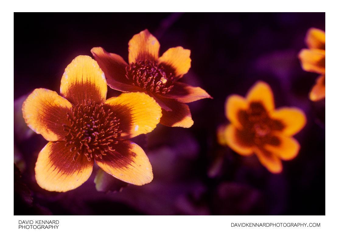 Marsh Marigold (Caltha palustris) UV + Vis