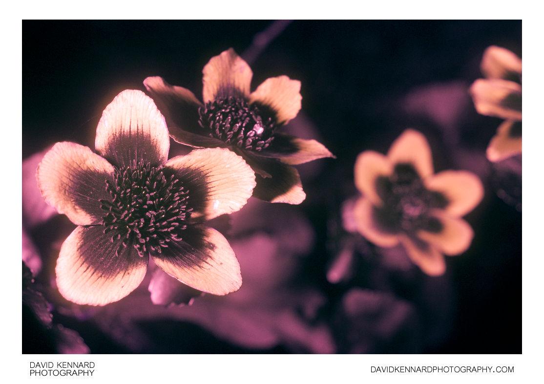 Marsh Marigold (Caltha palustris) in UV