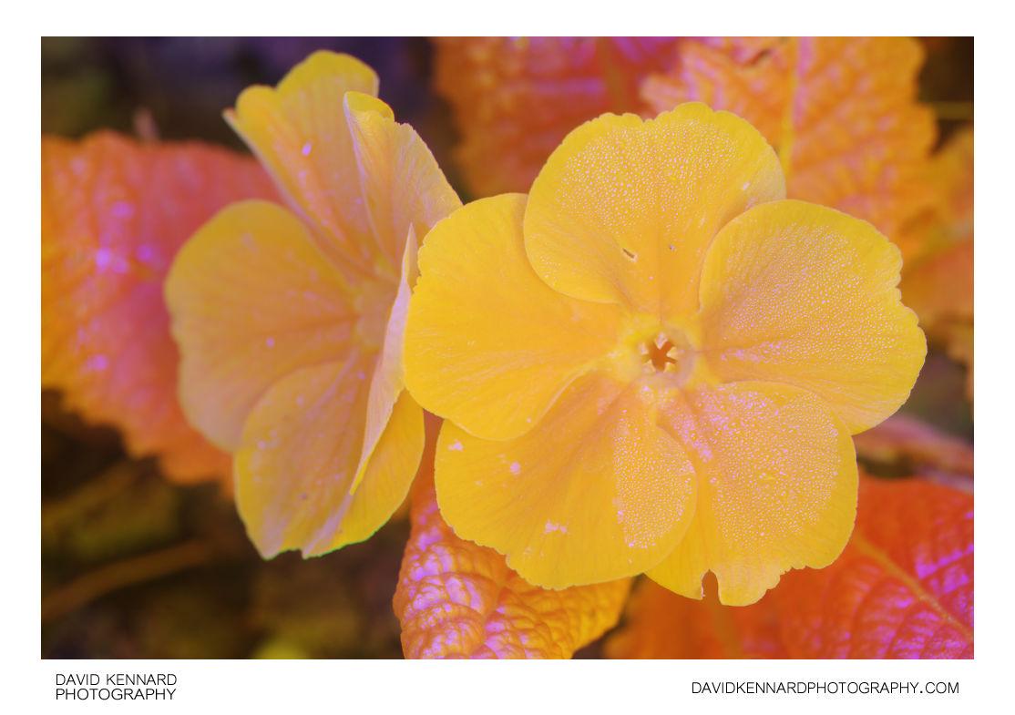 Orange flowered Primose [Multispectral]