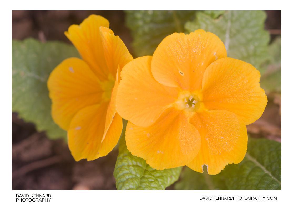 Orange flowered Primose