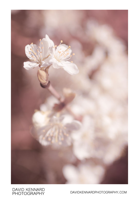 Plum blossom (Full spectrum)