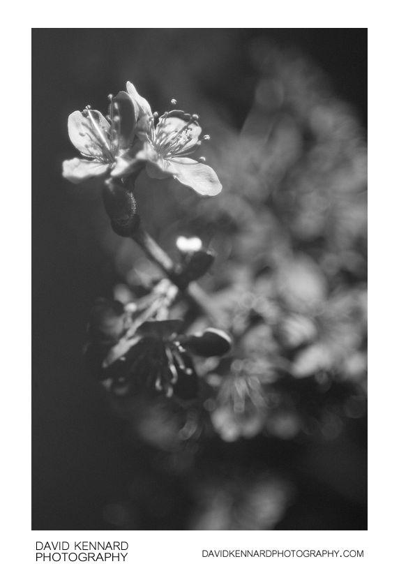 Plum blossom in Ultravioet