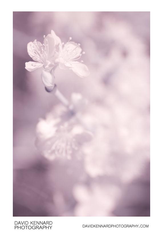Plum blossom in infrared