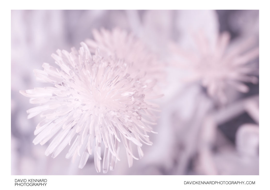 Common Dandelion (Taraxacum officinale) flowers in Infrared