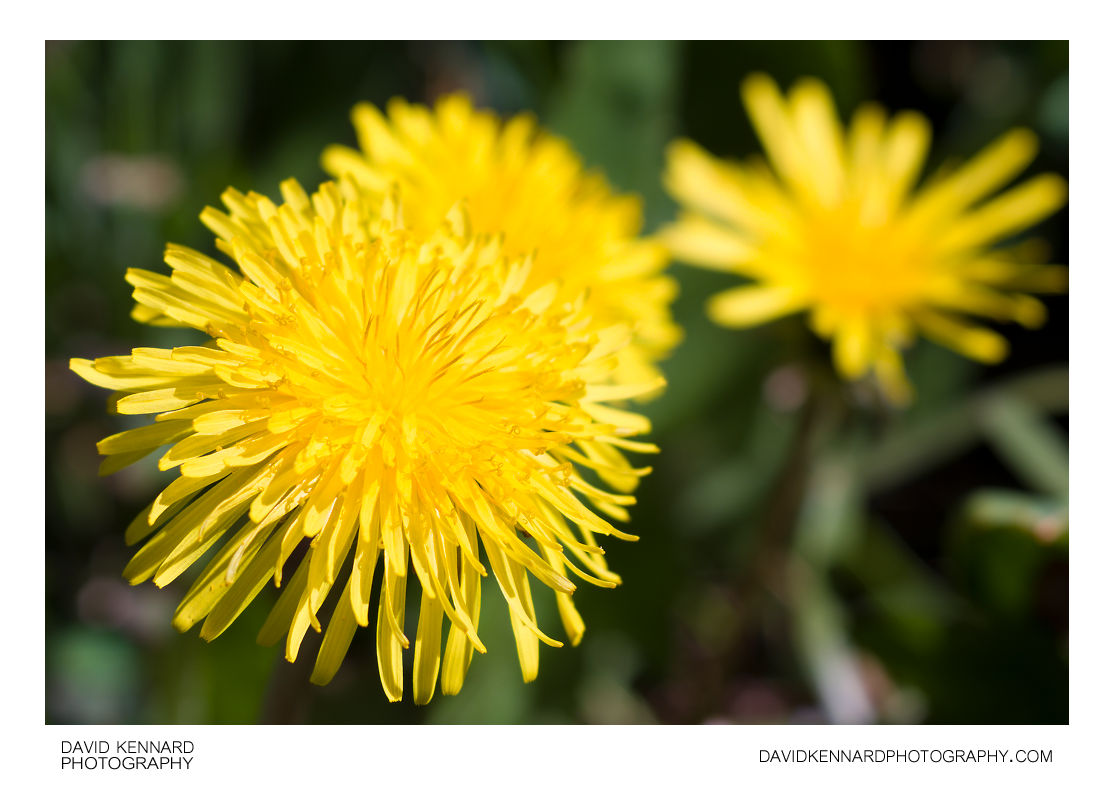 Common Dandelion (Taraxacum officinale) flowers