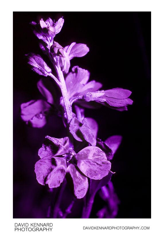 Aegean wallflower (Erysimum cheiri) flowers in UV