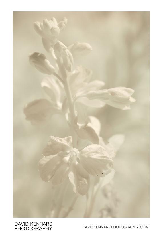 Aegean wallflower (Erysimum cheiri) flowers in IR