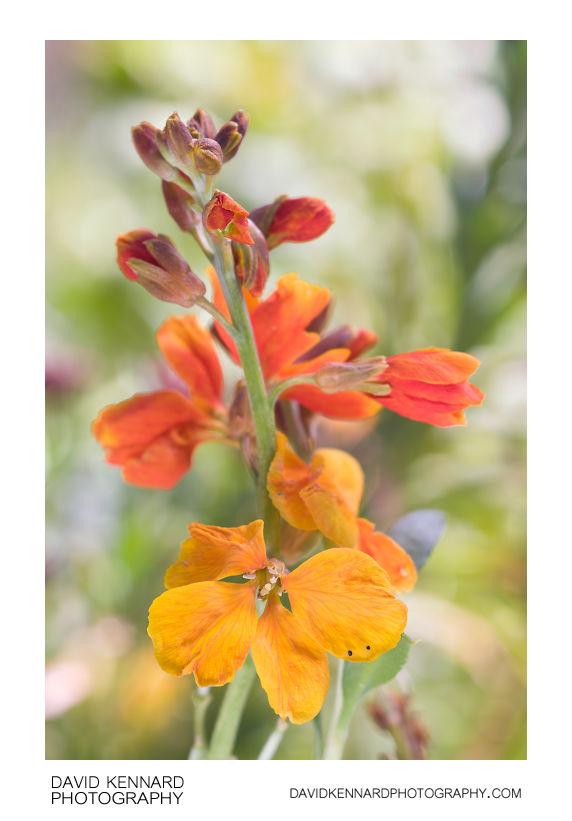 Aegean wallflower (Erysimum cheiri) flowers