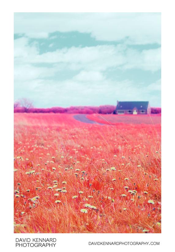 Dandelions in the grass by East Farndon Road [Multispectral]