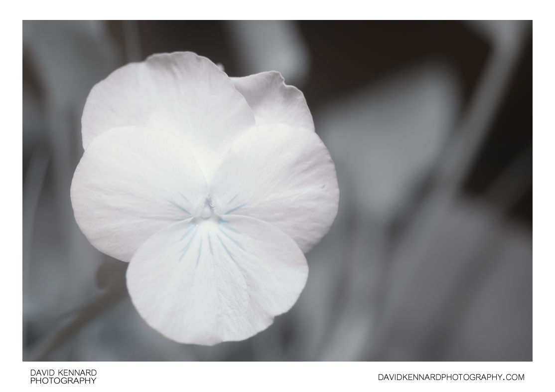 Small Pansy flower in Infrared