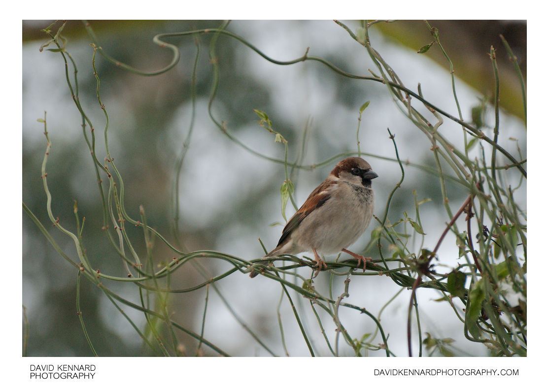 House Sparrow (Passer domesticus) perched on bush