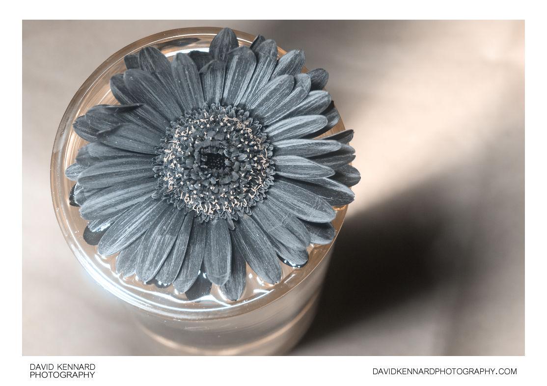 Gerbera hybrida [UV]