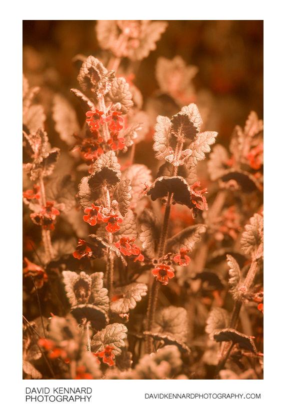 Glechoma hederacea (Ground Ivy) [UV]