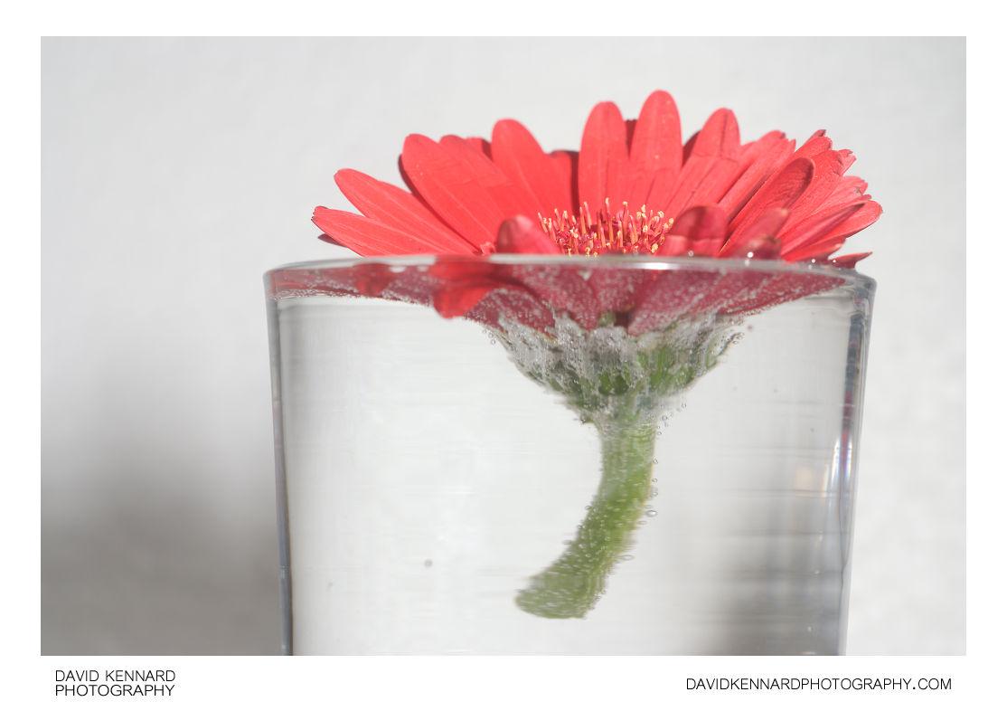 Gerbera flower in glass of water