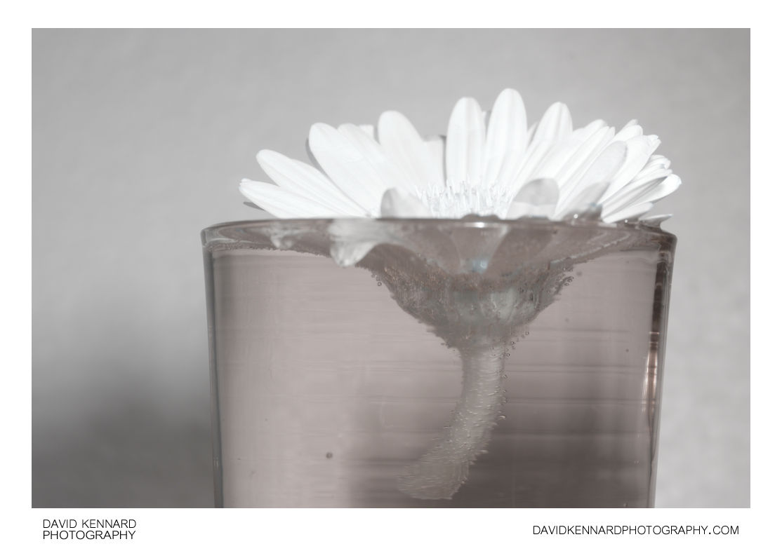 Gerbera flower in glass of water [IR]