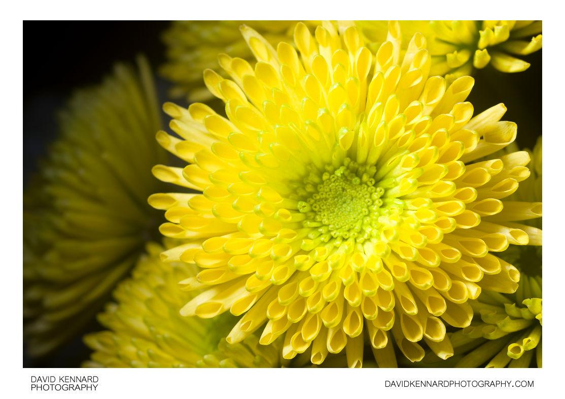 Quill Chrysanthemum flower