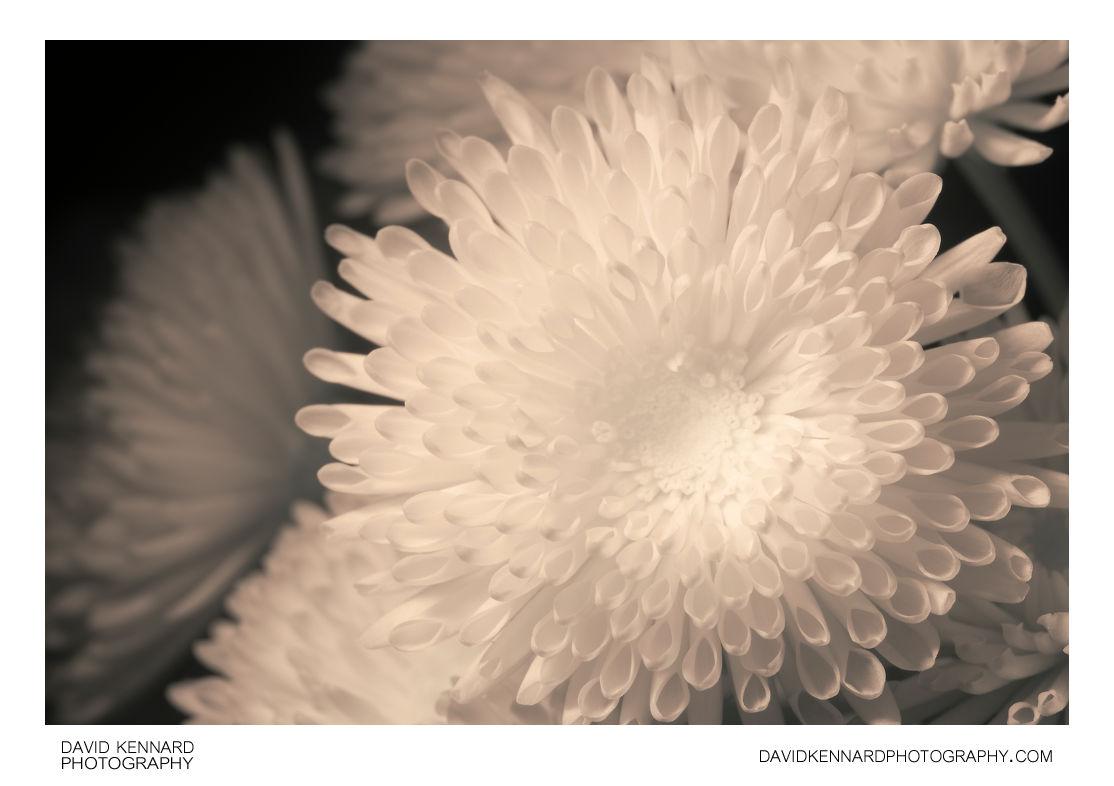 Quill Chrysanthemum flower [IR]