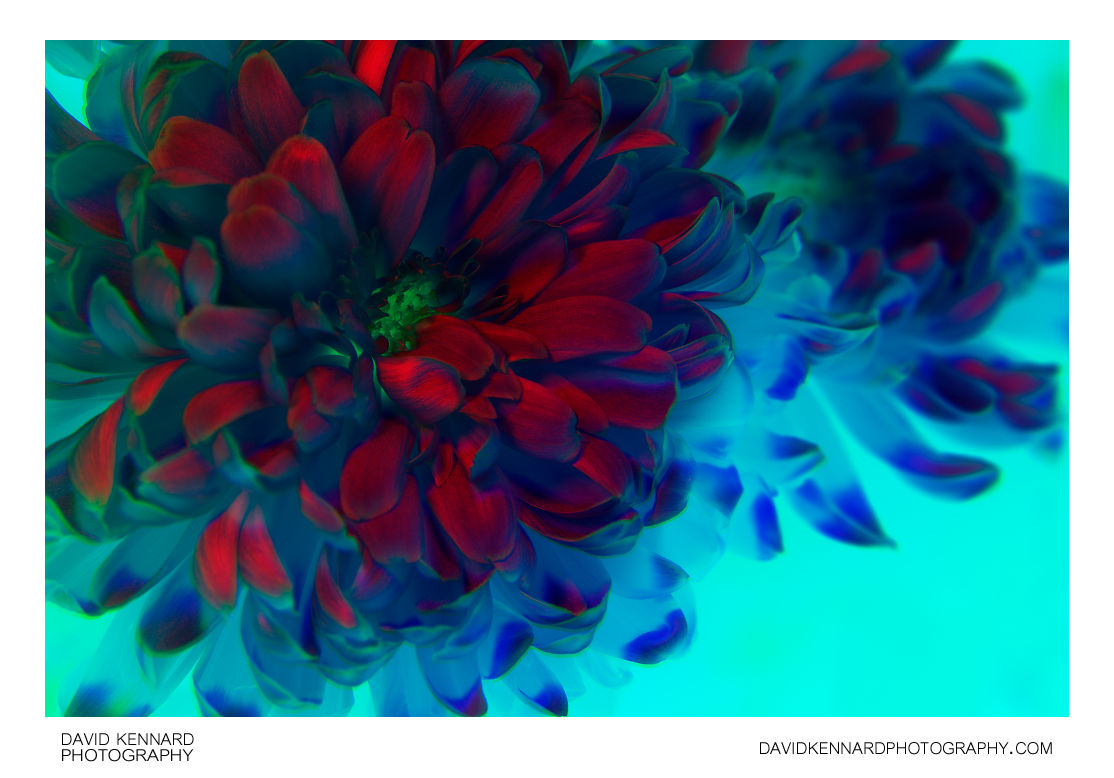 Chrysanthemum flower [modified colour]
