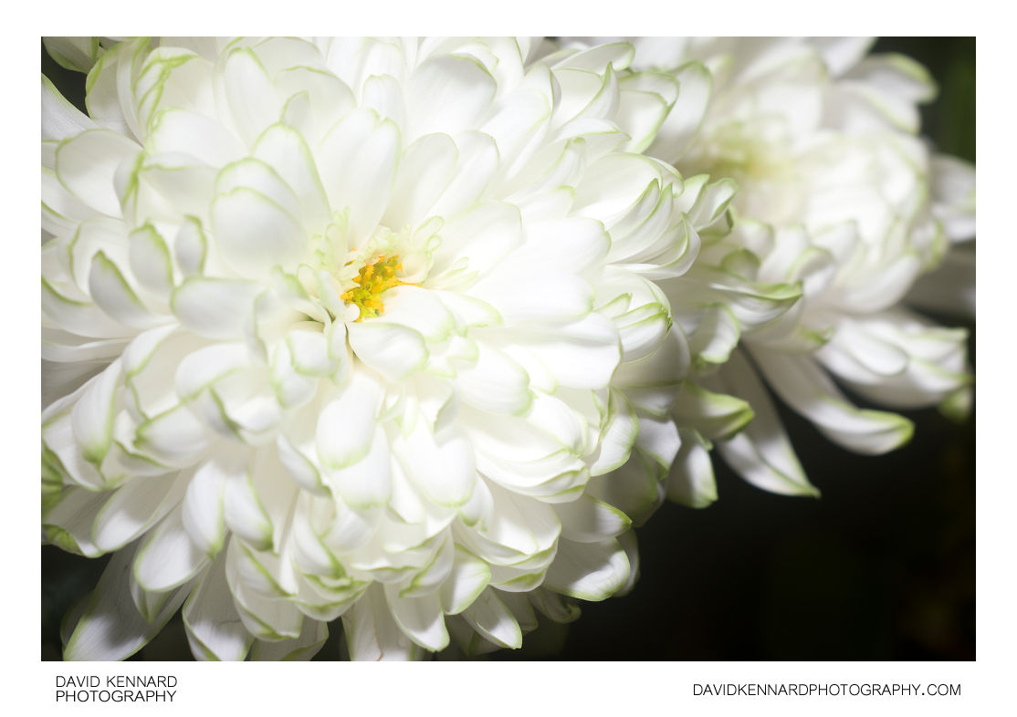 Chrysanthemum with green-tipped white petals