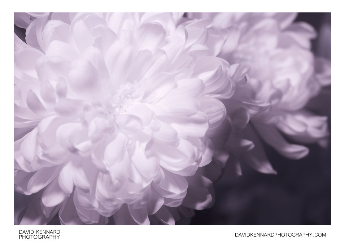 Chrysanthemum in Infrared