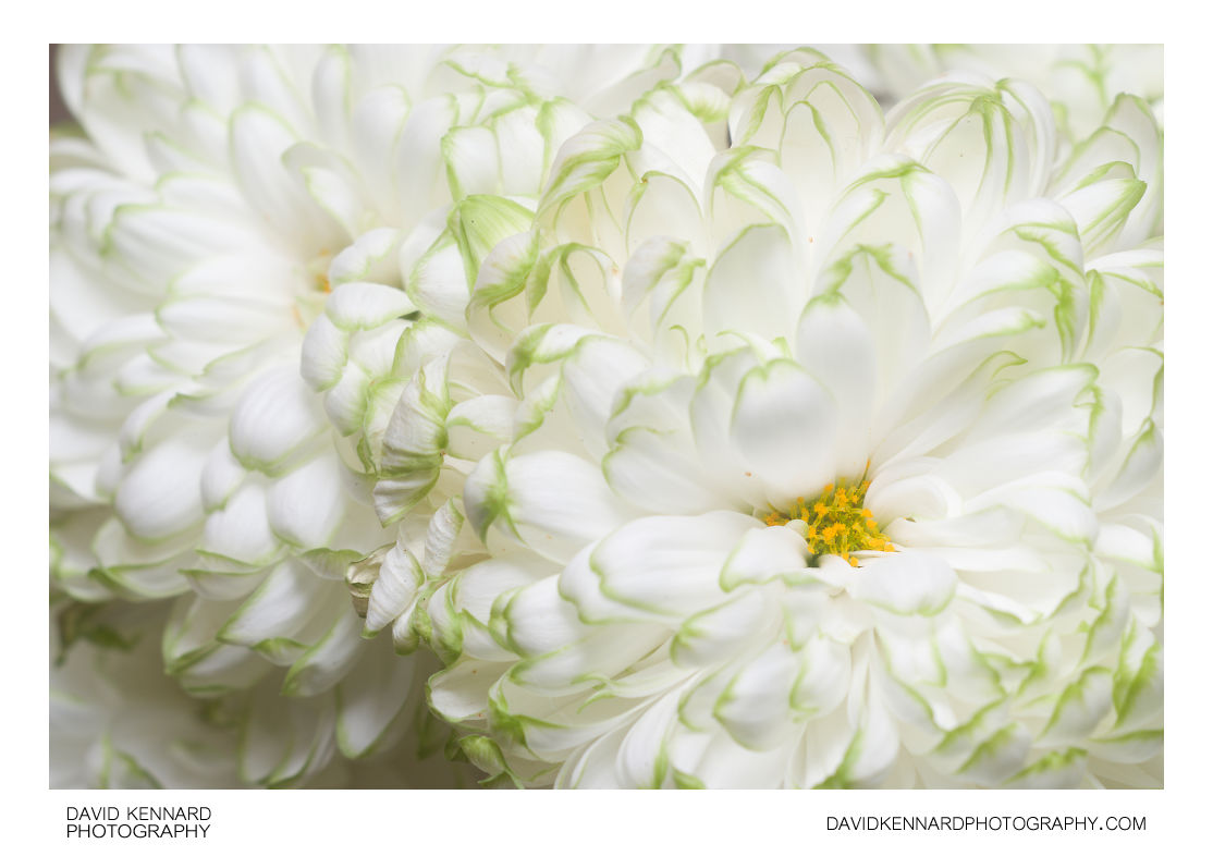 White green edged Chrysanthemum flower