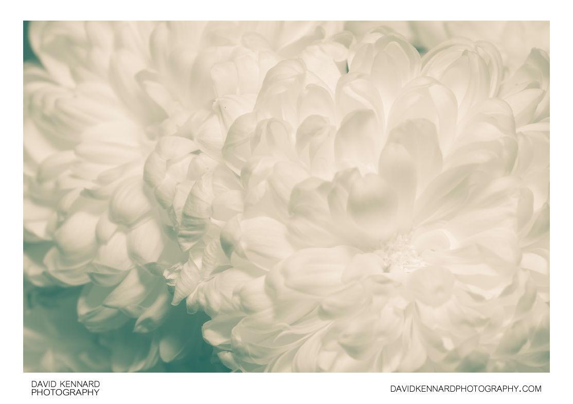 White green edged Chrysanthemum flower