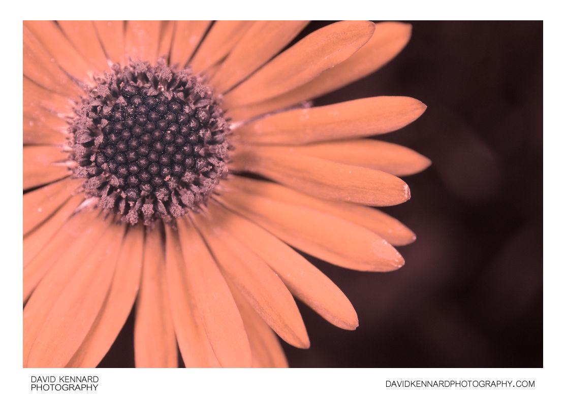 Common Daisy (Bellis perennis) flower close-up [UV]
