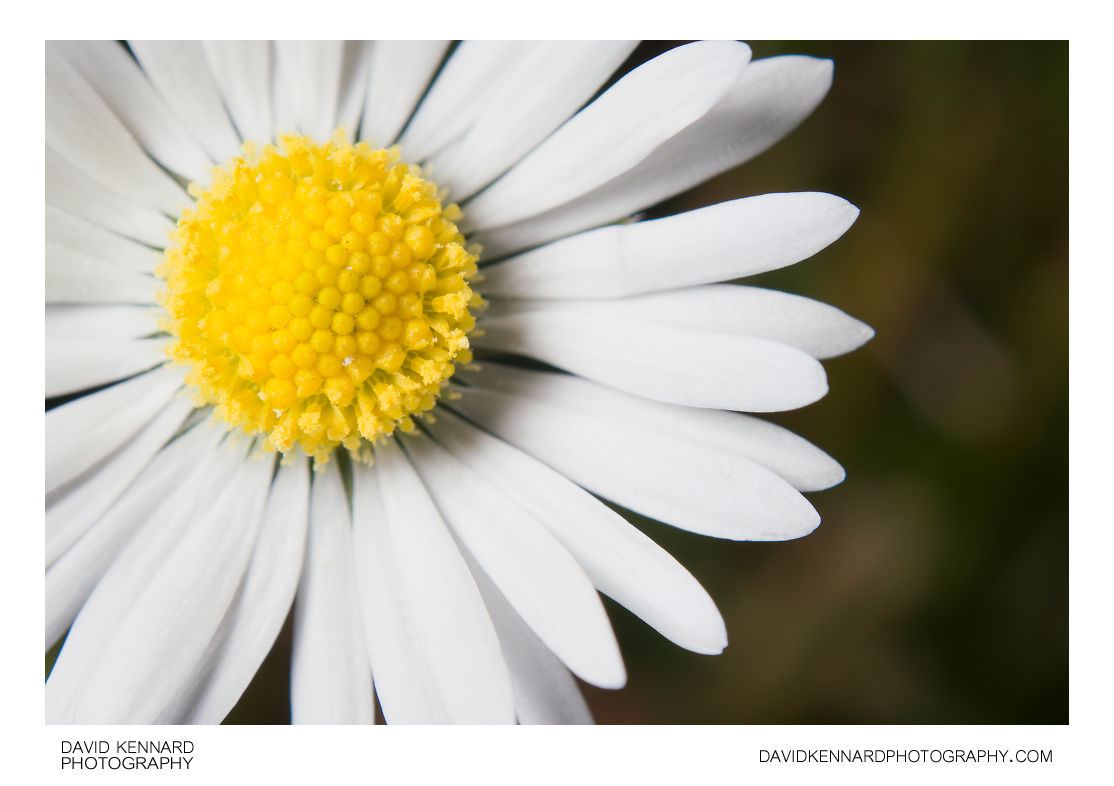 Common Daisy (Bellis perennis) flower close-up