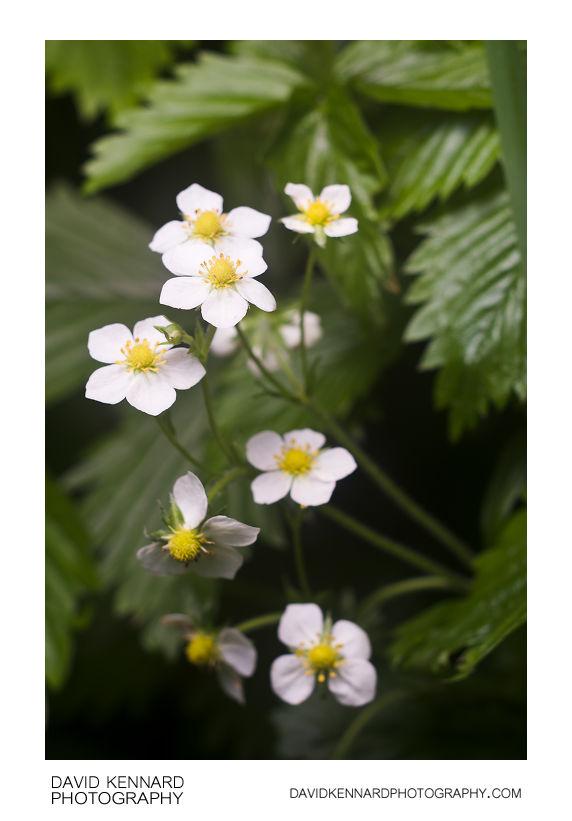 Wild Strawberry (Fragaria vesca) flowers