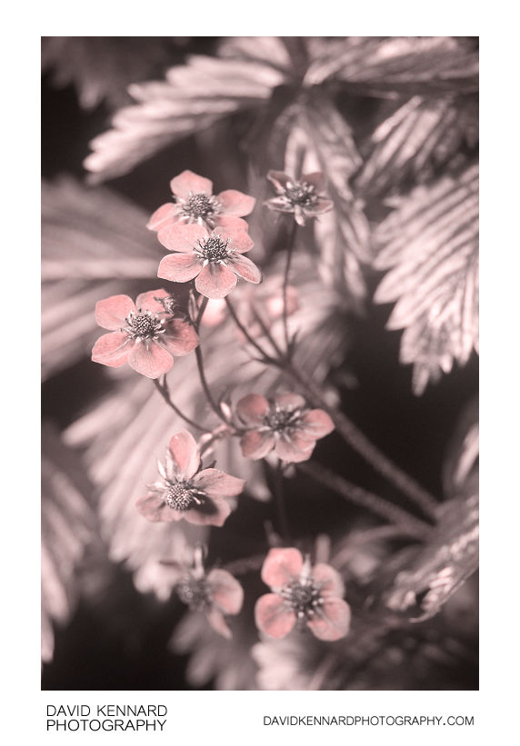 Wild Strawberry (Fragaria vesca) flowers [UV]