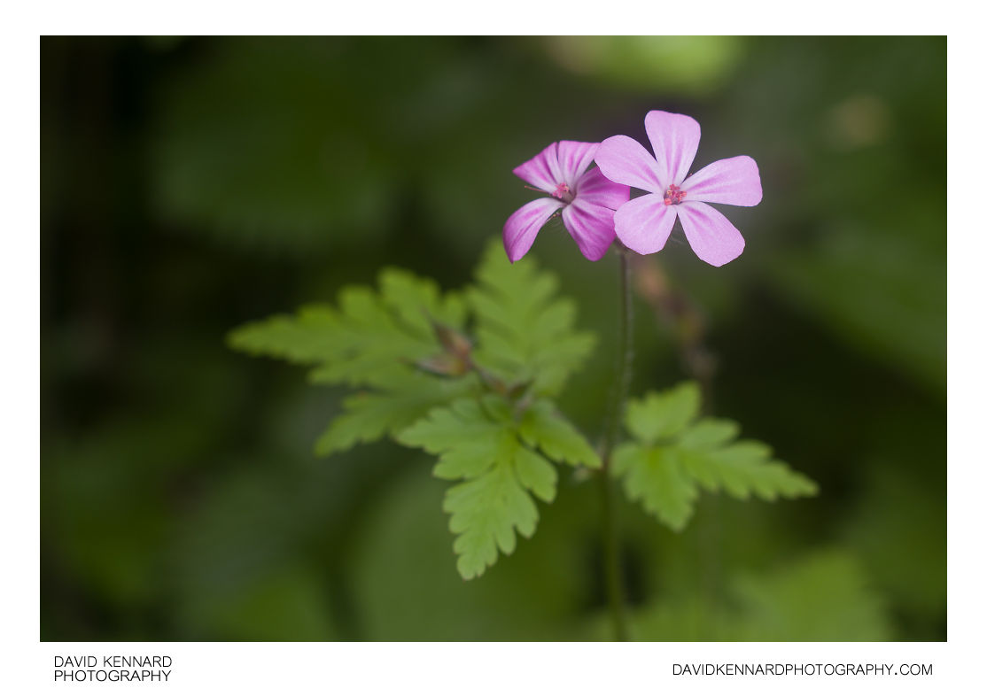 Herb Robert (Geranium robertianum) flower