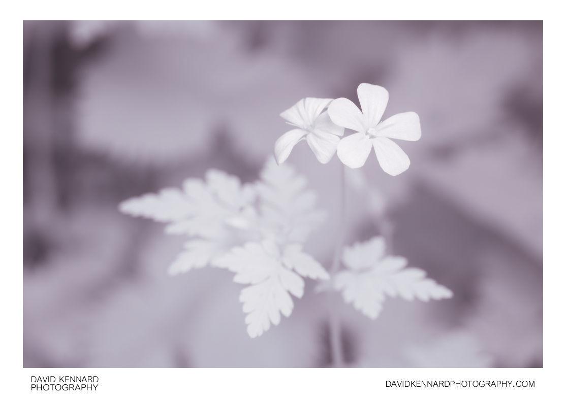 Herb Robert (Geranium robertianum) flower [IR]