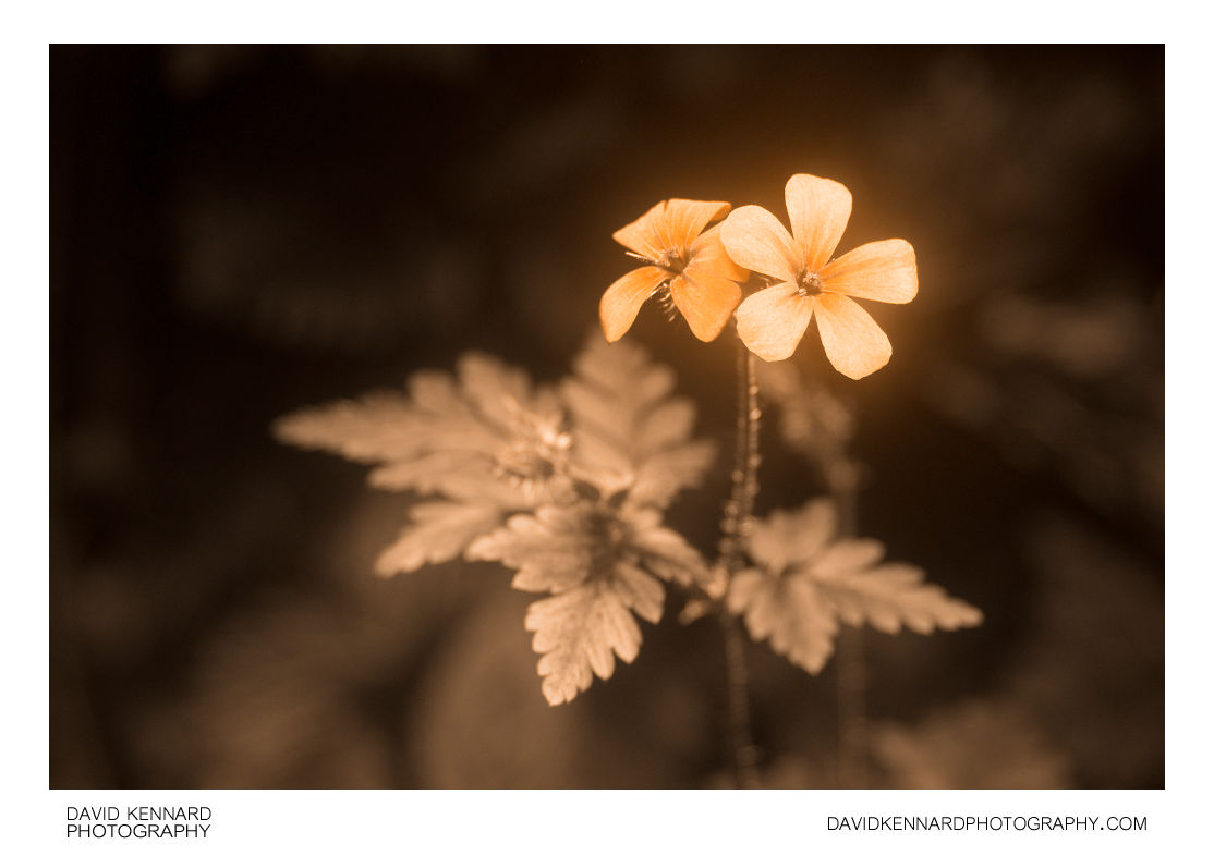 Herb Robert (Geranium robertianum) flower [UV]