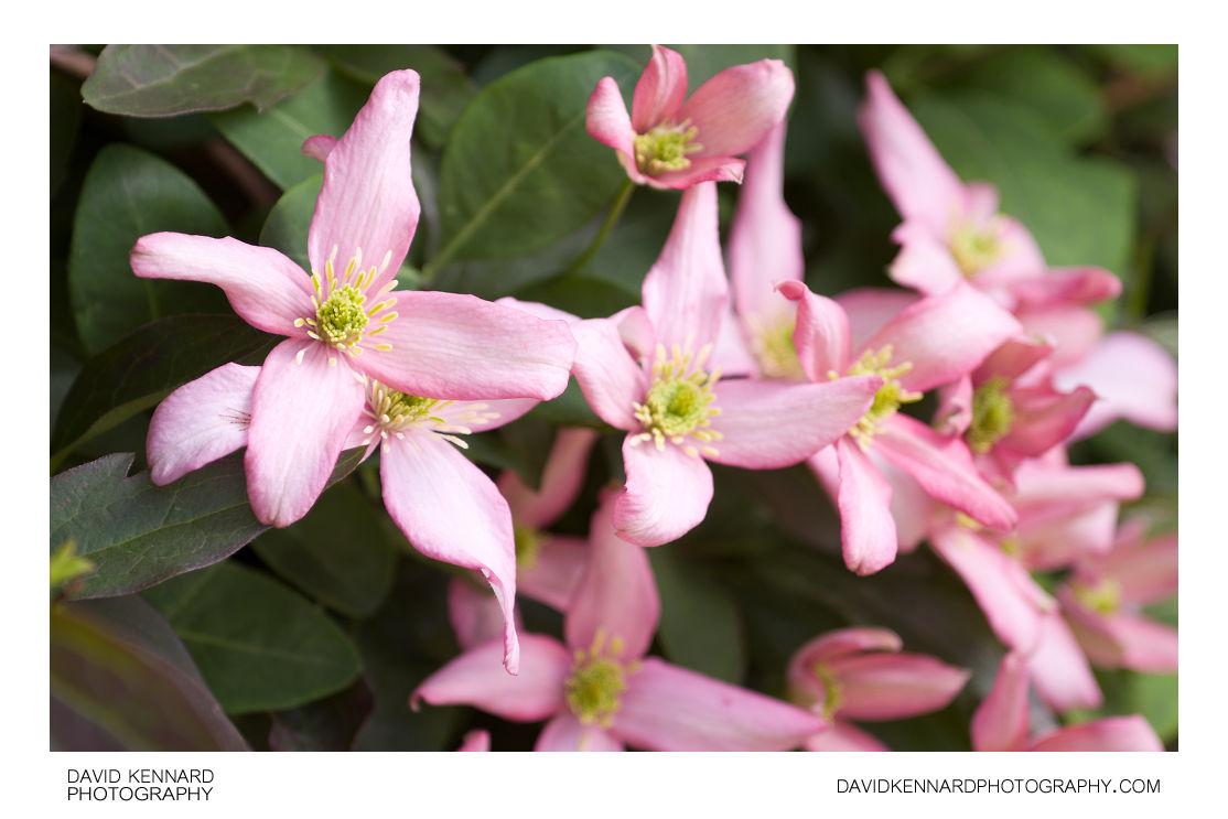 Pink Clematis montana flowers